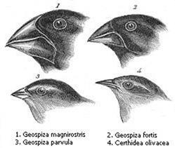 Darwin's_finches